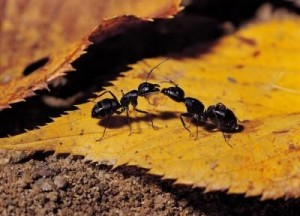 article-new-ehow-images-a08-03-bh-rid-ant-scent-lines-ants-800x800