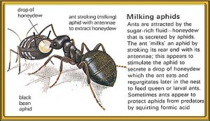 milking aphids