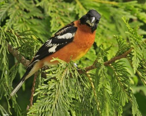 2009-06-14 007 black-headed grosbeak