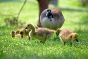 3201863-canada-goslings-searching-for-food-watching-over-by-parent
