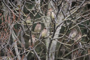 Cedar Waxwing group in tree fwsADCB2BD2-1551-43CC-860AC1B31A6CA090