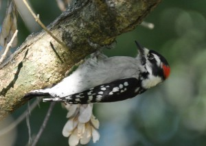 Downy_Woodpecker_davidryan63_2010-09-14_192556.876295