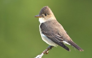 Olive-sided-Flycatcher-049