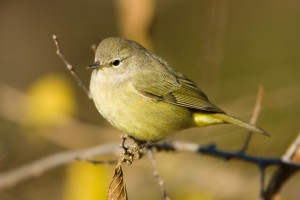 Orange-crowned-Warbler-0019