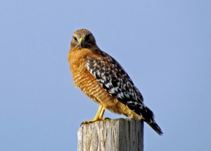 Red-shoulderedHawk buteo lineatus
