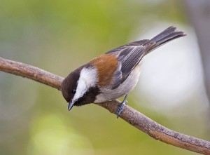 chestnut-backed-chickadee-1