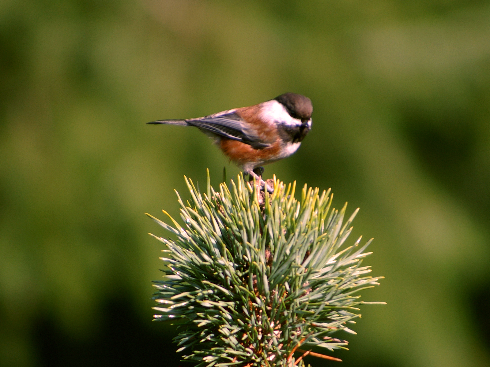 chestnut-backed-chickadee