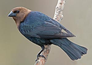 pub_brown_headed_cowbird