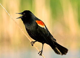 red_winged_blackbird_glamour