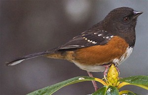 spotted_towhee_sim_2