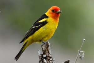 westerntanager6