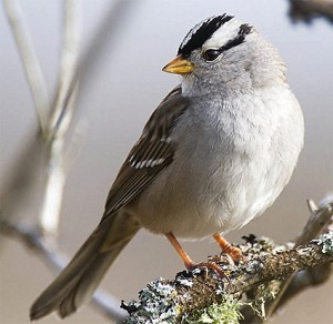 white_crowned_sparrow_2