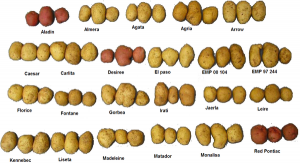 600px-Several_varieties_of_potatoes