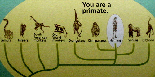 human_evolutionary_tree