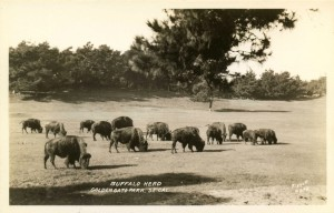 Golden_Gate_Park_SF_CA_Buffalo_Herd_PC_002