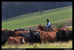 Cowboy rounding up cattle herd. Maui, Hawaii, USA